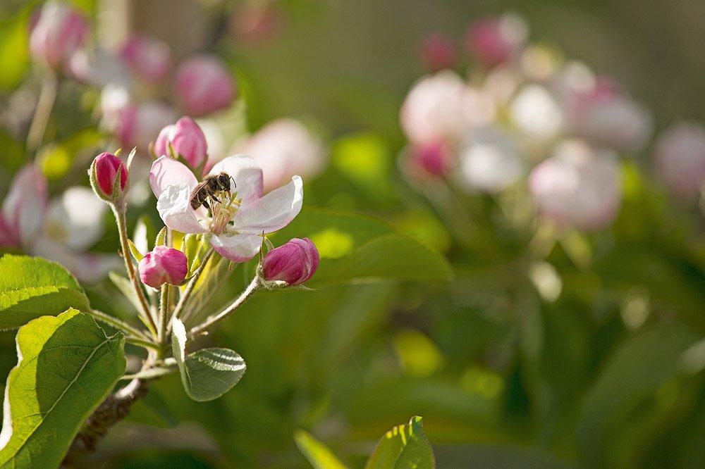 fiori di mela