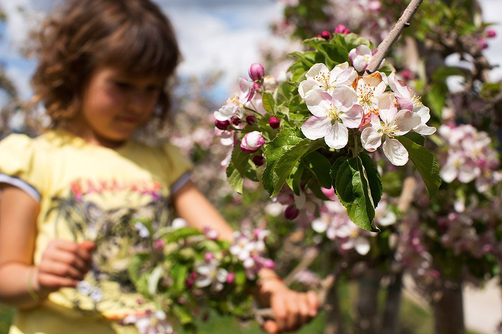 Höhepunkt: Das Apfelblütenfest